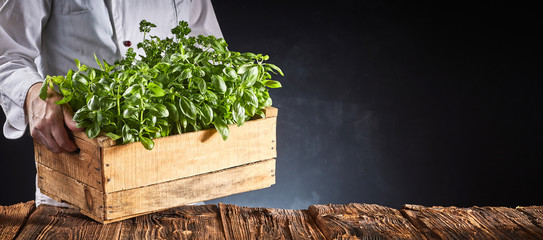Chef or cook carrying fresh potted basil plants