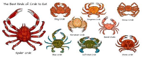 Set of the best kinds of crab to eat.Crab vector by hand drawing.crab silhouette on white background.Horsehair Crab art highly detailed in line art style.Animal pictures for coloring.
