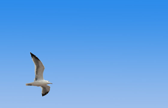 High resolution perfect seagull freely flies on an azure sky background with a nice top bottom gradient, smartly leaving plenty of space for copy text in the image frame