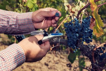 Man hands holding refractometer and red grapes with in a vineyard. Selective focus