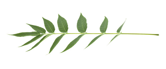 Green leaves isolated on white background Wall mural