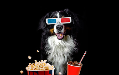 Funny bernese mountain dog movie lover with 3d glasses, popcorn and soda