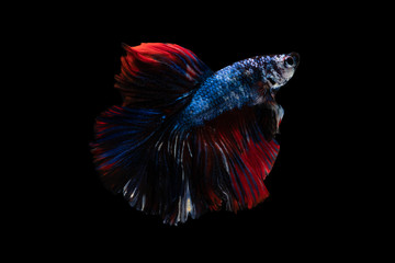 Foto op Aluminium Vissen Colorful fancy beautiful Siamese fighting fish long tail and fin swimming on black background.