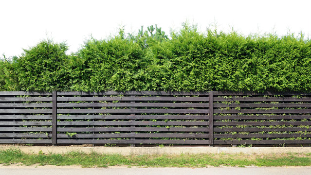 Behind a rustic wooden fence of horizontal planks, a green evergreen coniferous fence grows isolated