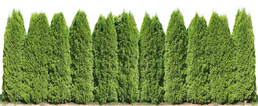 Ideal long and high green fence from evergreen coniferous trees near rural house isolated