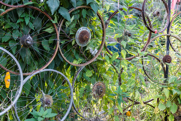 Recycling old bike wheels. Used as trellis in the garden.