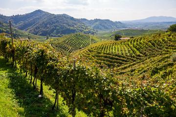 Vineyards in Valdobbiadene