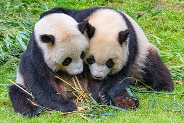 Foto auf Gartenposter Pandas Giant pandas, bear pandas, the mother and her son together