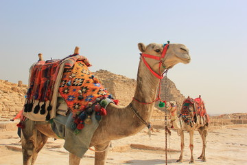 Fotobehang Kameel Camels in desert for tourist ride