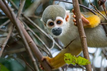 A squirrel monkey in its tree top habitat