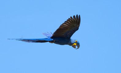 Hyacinth Macaws in Pantanal, Brazil