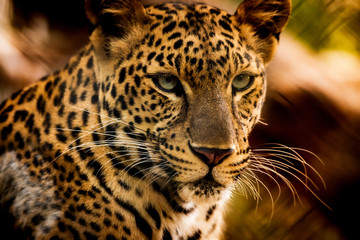 In de dag Luipaard The portrait of Javan leopard