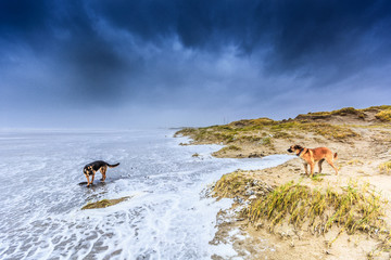 Two dogs scavenge in violent Wester storm with sea spray and shifting sand dunes and along flood line at  Dutch North Sea coast against a background with dark rain clouds