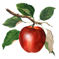 Ripe sweet red apple with leaves on a branch isolated, juicy fruit, healthy food, hand drawn watercolor illustration on white