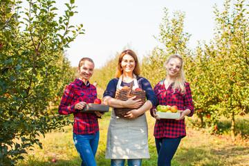 Three women gathering Organic Apples, outrdoor market concept
