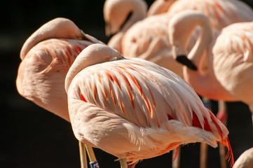 In de dag Flamingo Zwei schlafende Flamingos