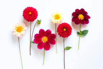 Foto auf Acrylglas Dahlie Several multi-colored dahlia flowers on a white background. Beautiful floral background