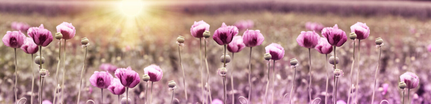 Poppy flower, purple poppy flower at sunset in meadow