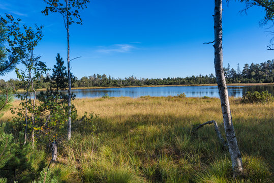 Raised bog of the Wildsee at Kaltenbronn, Northern Black Forest, Germany, with birch trees and small pines, territory Bad Wildbad and Gernsbach.