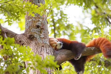 Tuinposter Panda Lesser panda sleeping on a tree branch. Also called the red panda (Ailurus fulgens)lesser panda, the red bear-cat, and the red cat-bear, is a mammal