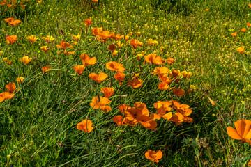 Poppies-003
