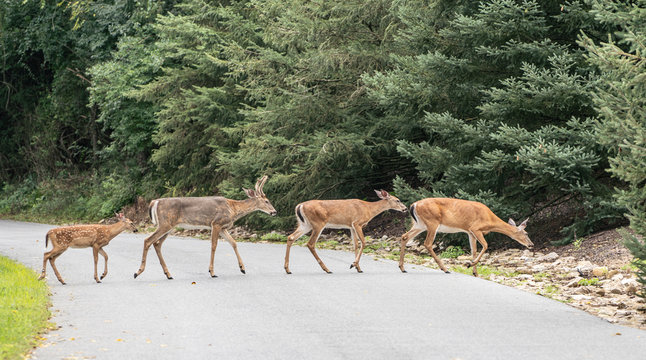 Family of white-tailed deer crossing road.