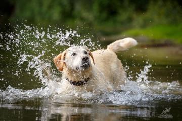 Labrador im See