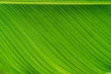 Green banana leaf texture background