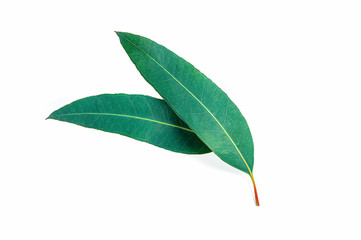 eucalyptus green leaf isolated on white background Wall mural