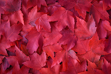 Fall background of red maple leaves from a top view
