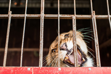 Beautiful lioness behind bars