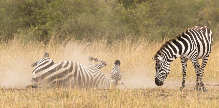 A zebra is cleaned by rolling in the dust while another one observes it