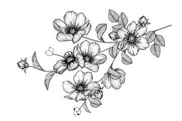 Sketch Floral Botany Collection. Rose flower drawings. Black and white with line art on white backgrounds. Hand Drawn Botanical Illustrations.Vector.
