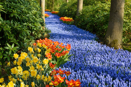 Blue purple trail, Grape Hyacinth in spring beautiful garden