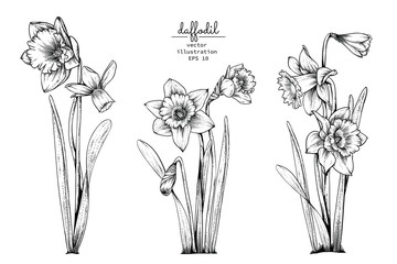 Sketch Floral Botany Collection. Daffodil or Narcissus flower drawings. Black and white with line art on white backgrounds. Hand Drawn Botanical Illustrations.Vector.