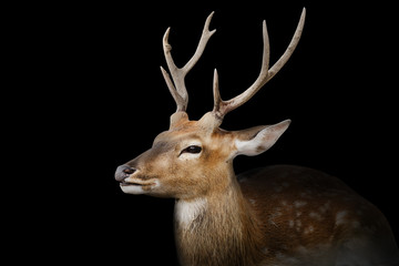 Photo sur Aluminium Cerf Spotted deer or chitals portrait on black background with clipping path. Wildlife and animal photo