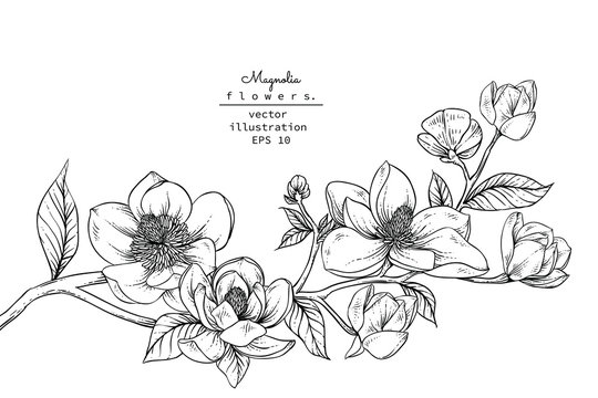 Sketch Floral Botany set. Magnolia flower and leaf drawings. Black and white with line art on white backgrounds. Hand Drawn Botanical Illustrations.Vector.Vintage styles.