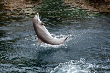 Der Delfin schlägt einen Salto