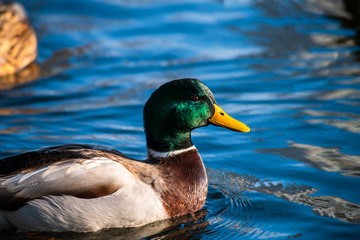 Nice young duck sweeming on lake water blue nature birds summer