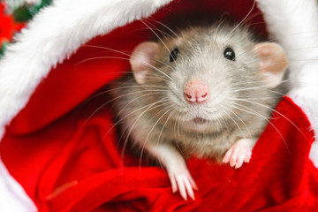 Christmas rat in red santa claus hat looking at camera. New year card mouse. Symbol chinese lunar horoscope 2020. copyspace. holidays, animals and celebration concept