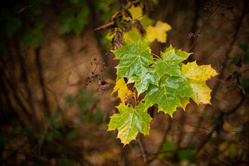 Sycamore (Acer pseudoplatanus) leaves, autumn colour, Kent, England, United Kingdom, Europe