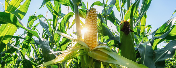 Fototapeten Lime grun Ear of corn in a field in summer before harvest, banner size