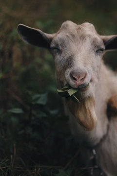 Portrait of a happy goat eating green leaves.