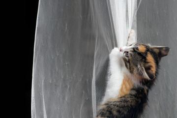 Katze Kitten Glückskatze spielt mit Gardine