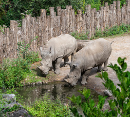 Rhinos Quietly Approaching a Water Stream - African Safari