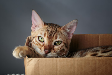 Young Bengal Cat in Cardboard Box