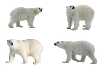 Door stickers Polar bear Set of four images of Polar bear (Ursus maritimus) isolated on white background