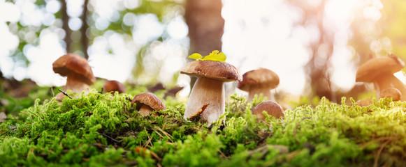 Fototapeta Whild Mushrooms outdoors in the forest in autumn obraz