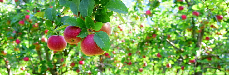 Reife rote Äpfel - Apfelwiesen in Südtirol kurz vor der Apfelernte