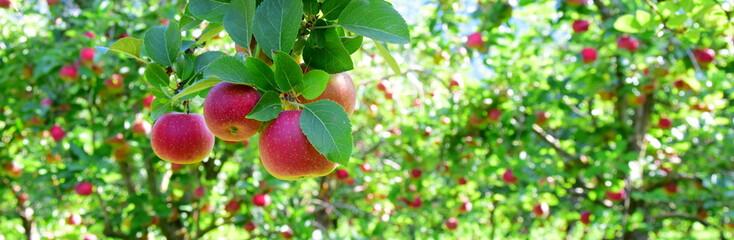 Estores personalizados com sua foto Reife rote Äpfel - Apfelwiesen in Südtirol kurz vor der Apfelernte